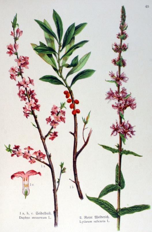 Gravure couleur ancienne de fleur daphne mezereum lythrum salicaria
