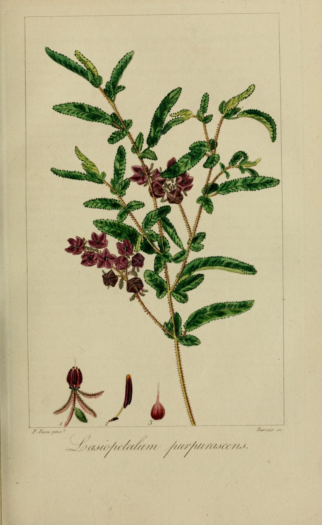 Gravure fleur de jardin 40043 corydale a belles fleurs corydalis formosa
