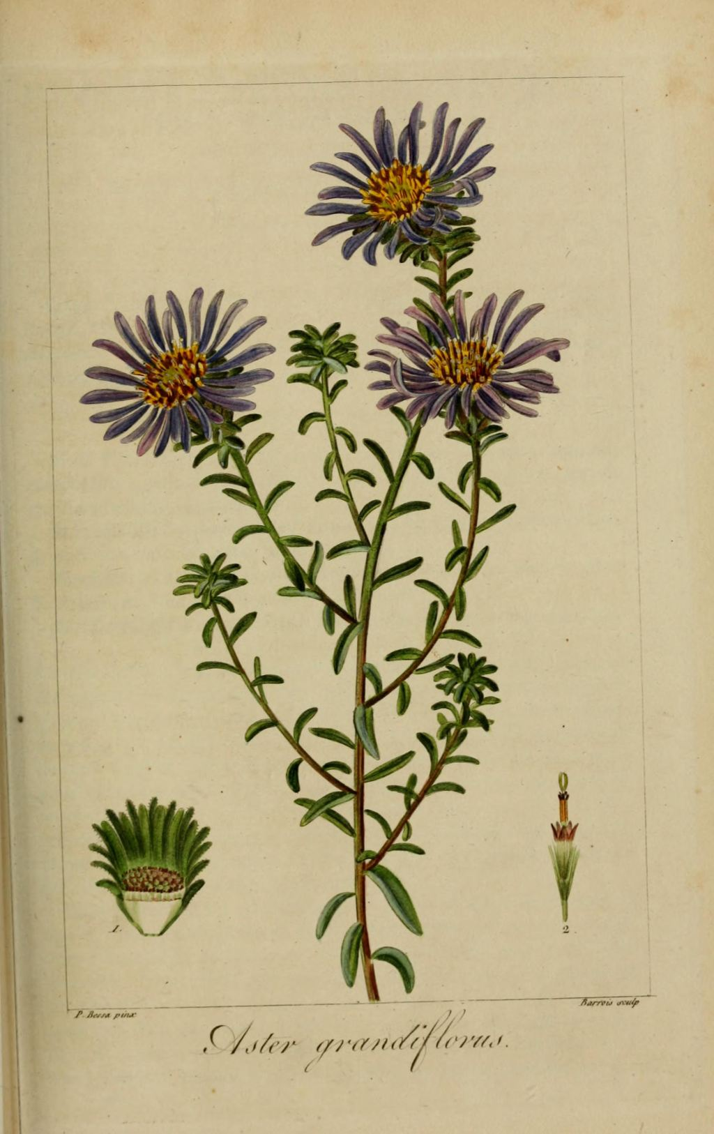 Gravure fleur de jardin 50267 astere a grandes fleurs aster grandiflorus